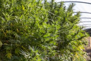 Large marijuana plants
