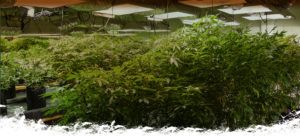 Large cannabis plants in a growhouse