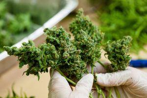 person holding marijuana flower buds