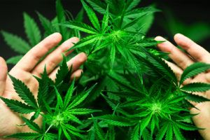 person holding cannabis plants