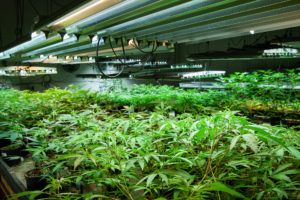 Legal cannabis grow room