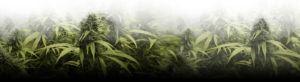 cannabis flower buds