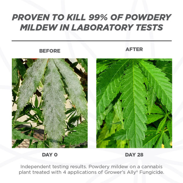 Before and after image of powdery mildew on a hemp leaf. Grower's Ally Fungicide is an OMRI Listed® fungicide and bactericide for use on cannabis and hemp.